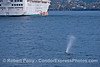 """Gray whale mother and calf and cruise ship """"Star Princess"""""""