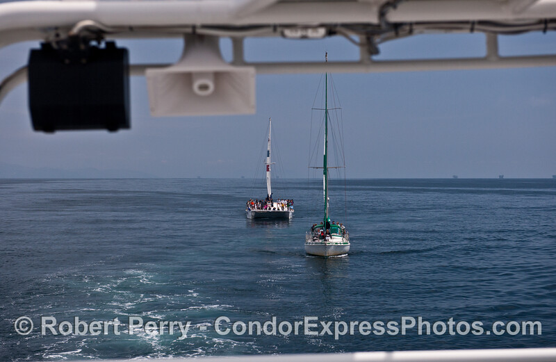 Like the Pied Piper...the Condor Express leads the line up of whale watchers
