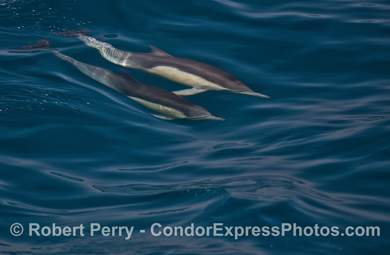 Two long-beaked common dolphins