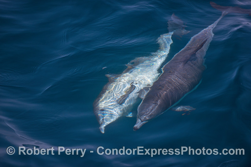 Image 1 of 3 in a row:   a long-beaked common dolphin is seen rolling over, perhaps to mate