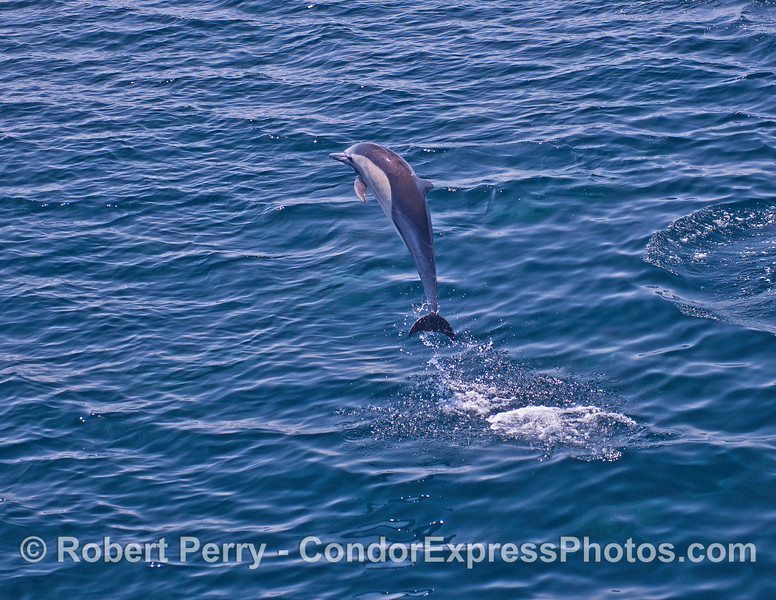 Taking a look around the 'hood - a high flying long-beaked common dolphin
