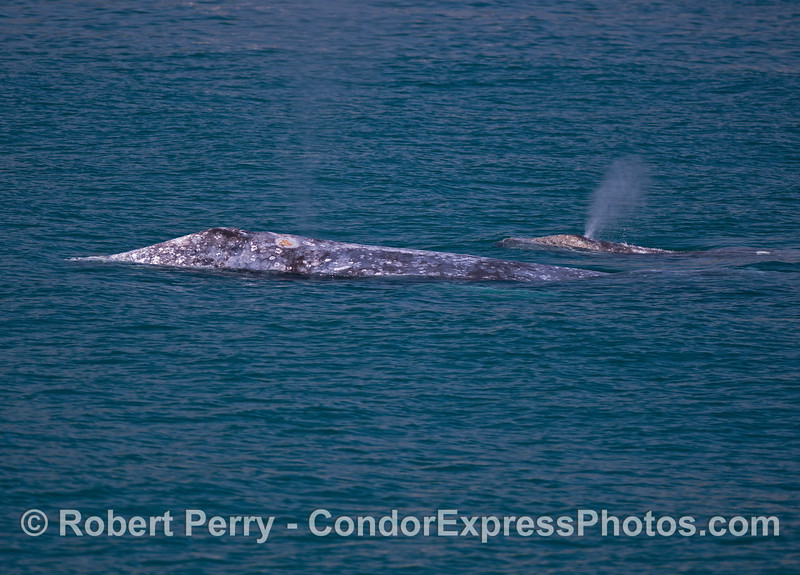 Mother gray whale and her calf (spouting)