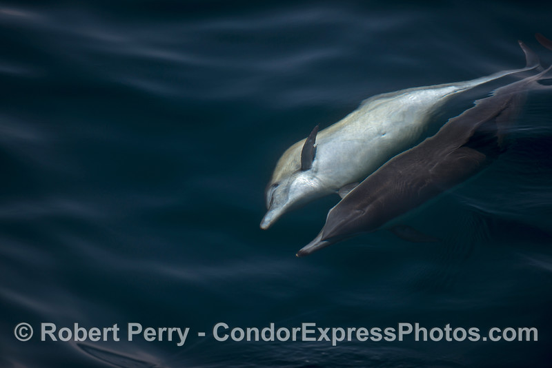Image 2 of 3 in a row:   a long-beaked common dolphin is seen rolling over, perhaps to mate