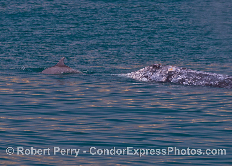 Bottlenose dolphins interacting with a gray whale