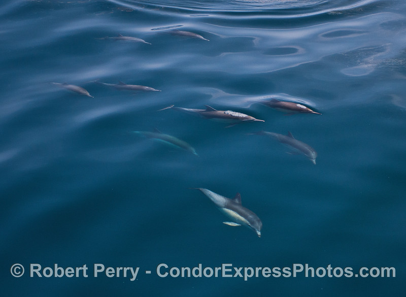 Part of a pod of long-beaked common dolphins