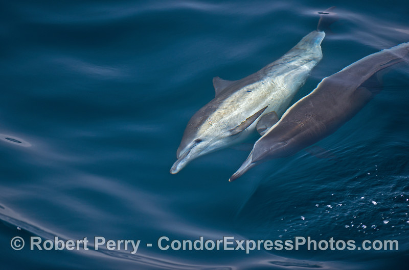 Image 3 of 3 in a row:   a long-beaked common dolphin is seen rolling over, perhaps to mate