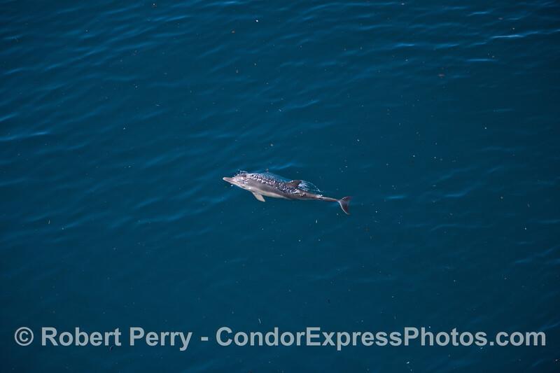 A tiny long-beaked common dolphin calf