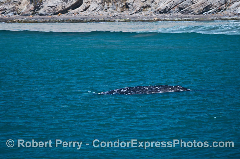 Gray whale nears the surf zone