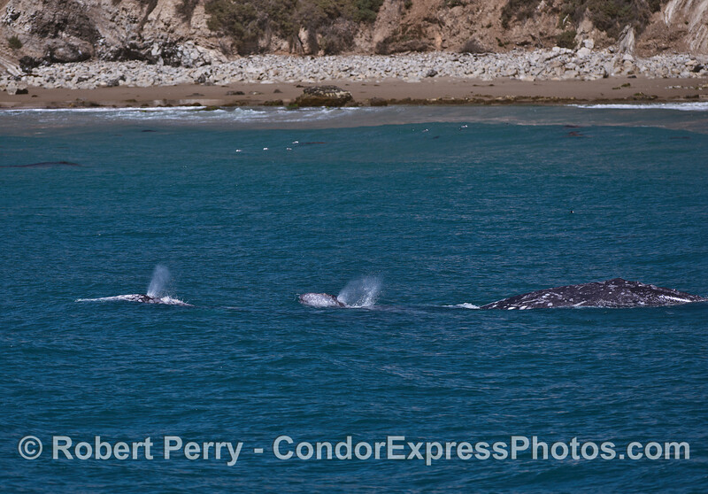 Two gray whale calves lead the migration as one of the two mothers is seen following behind.