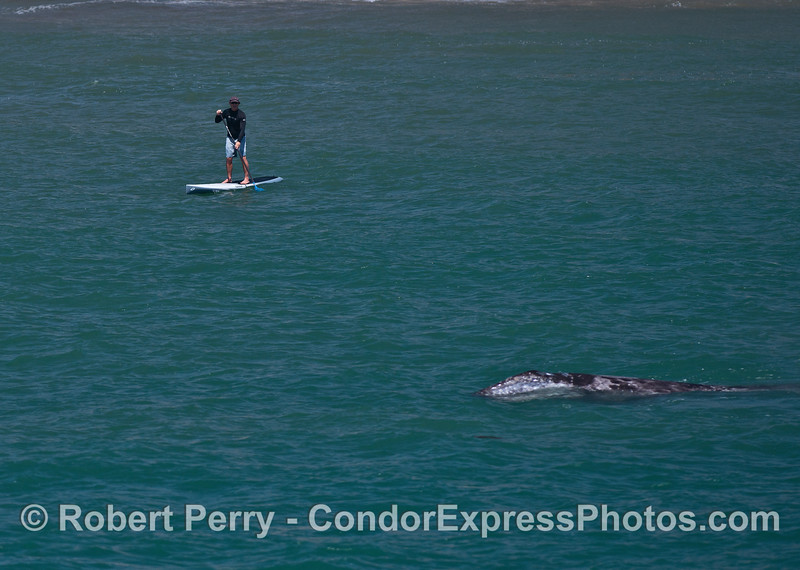An SUP'r gets a surprise as a gray whale calf comes to the surfact to take a look.