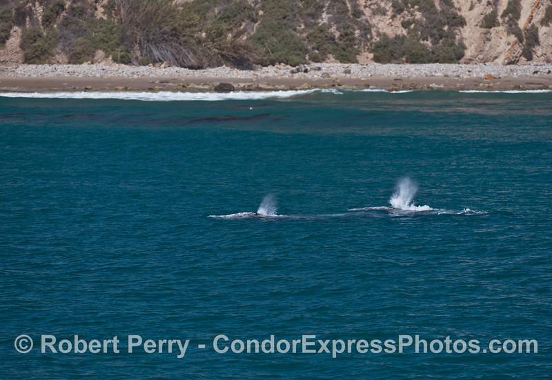 Gray whales near the beach.