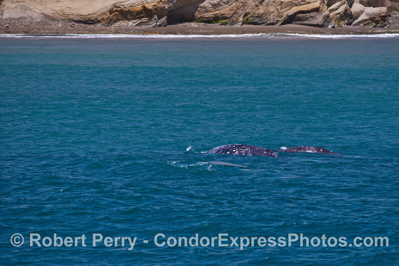 Gray whales near the beach.
