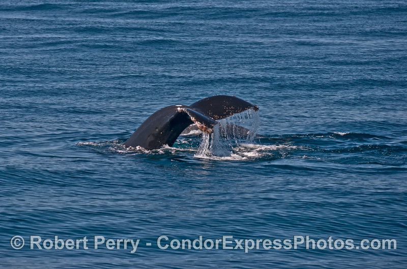 Behind the tail fluking mother humpback whale you can just make out her calf .