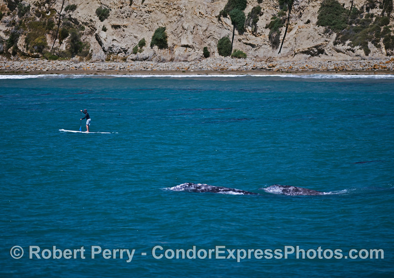 An SUP'r with two gray whales.