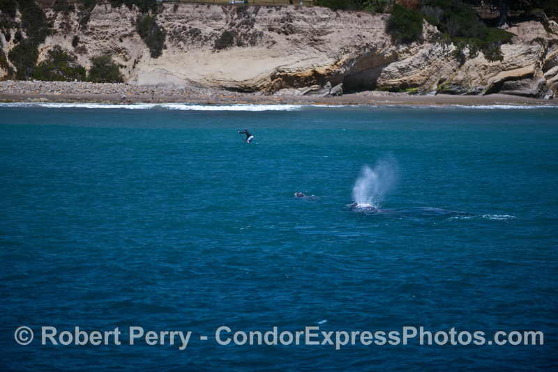 A mother and calf gray whale near an SUP'r