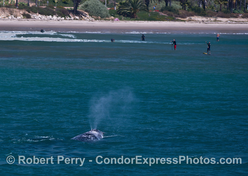 A gray whale takes a momentary detour to look at all the SUP'rs.