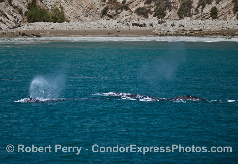 Four gray whales, two mother-calf pairs, takes a trip along the beach.