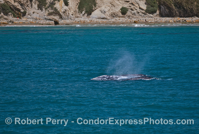 All the gray whales line up and spout together.