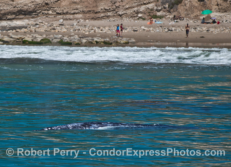 Gray whales in the surf zone and a beach full of people enjoying the sun