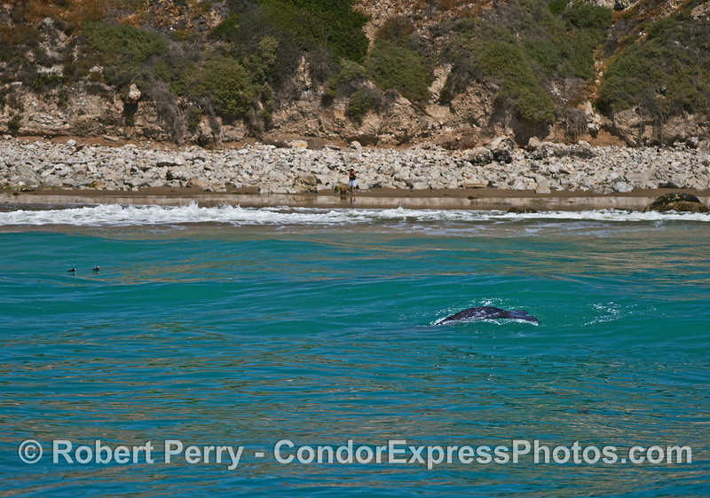 Gray whale calf in the surf zone.  On the beach a woman and her dog do some whale watching.  Two surf scoters can be seen in the water to the left.