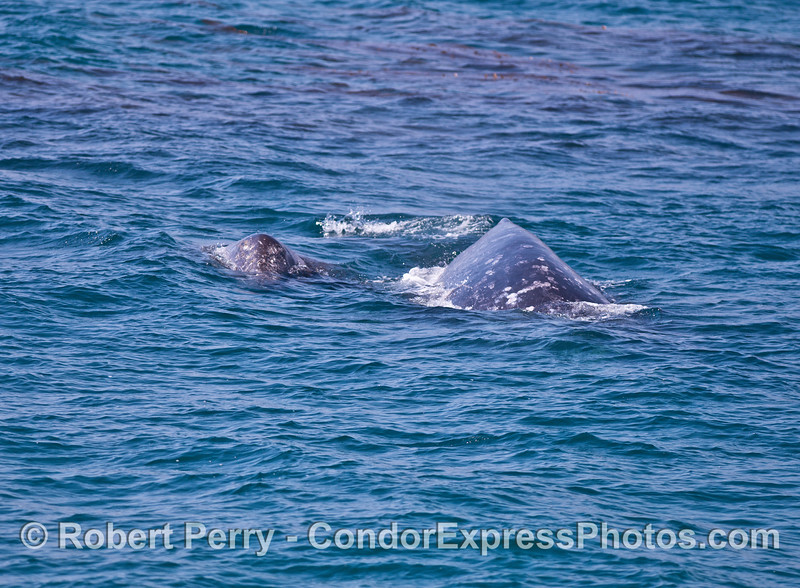 Mother gray whale (right) and her calf (left).