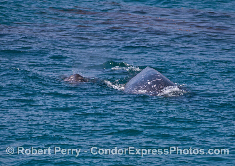 Another look at the gray whale mother and her calf/