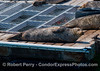 Closer look at a Pacific harbor seal resting on the bait barge in Santa Barbara Harbor.