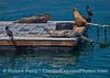 The prostrate spotted animals are Pacific harbor seals and the tall tan one is a California sea lion.  The birds are Brandts cormorants.