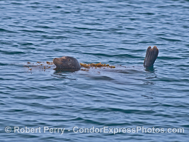 Harbor seal wrapped in giant kelp