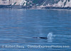 A few of the 4 gray whales that were migrating up the coast together.  A mother gray whale and her spouting calf can be seen near the Ellwood Pier.