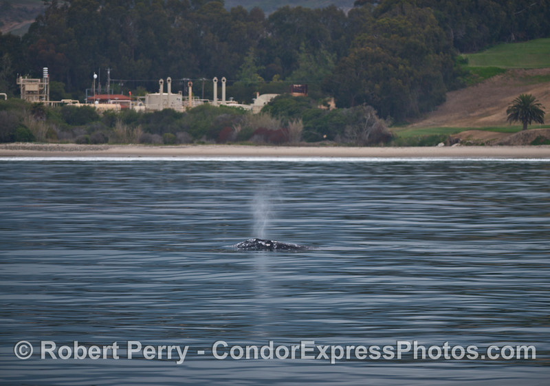 A coastal northbound gray whale sends up a nice spout near the Ellwood oil refinery.