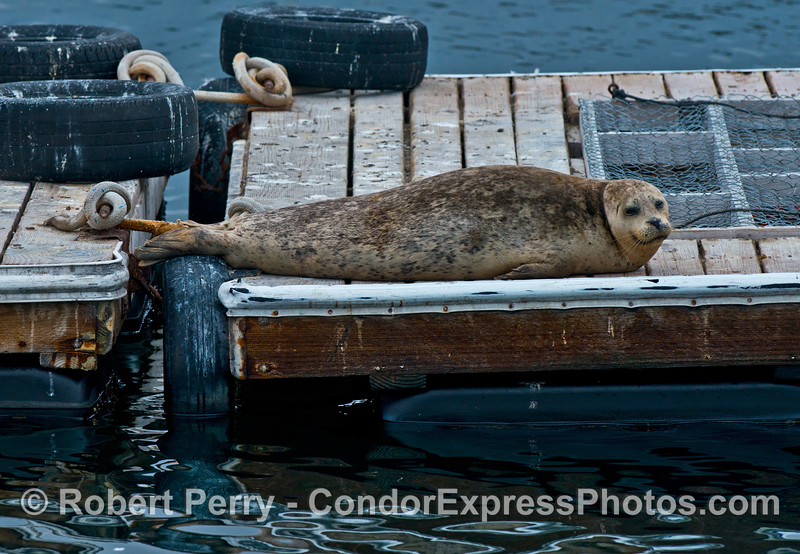 Harbor seal resting on bait barge.