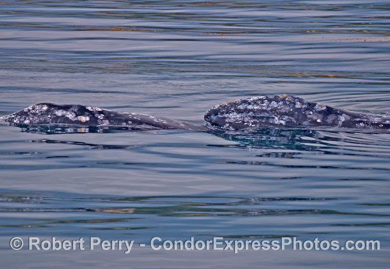 One gray whale lifts its head above the glassy ocean survae.  Its eyeball is visible near the water line.