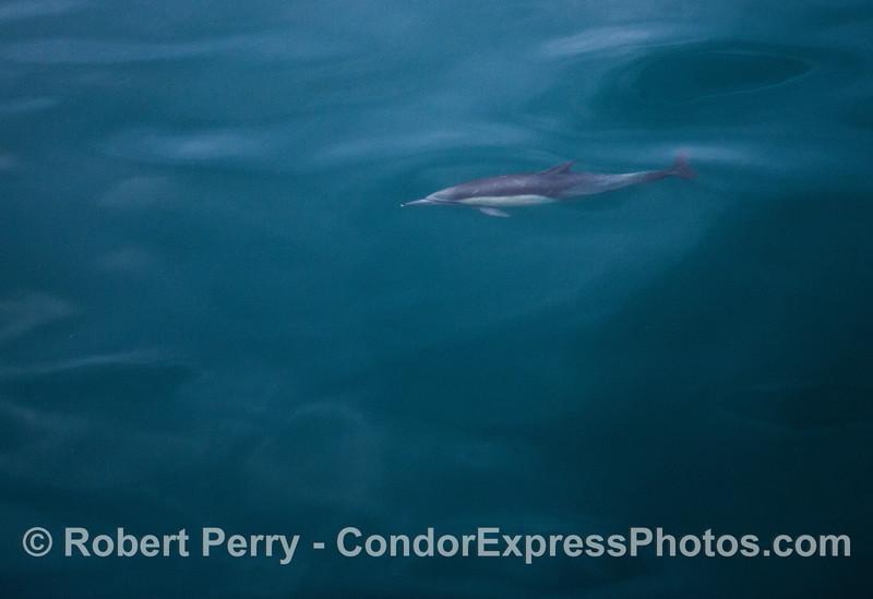 Blue ocean.  Glassy surface.  Long-beaked common dolphin.