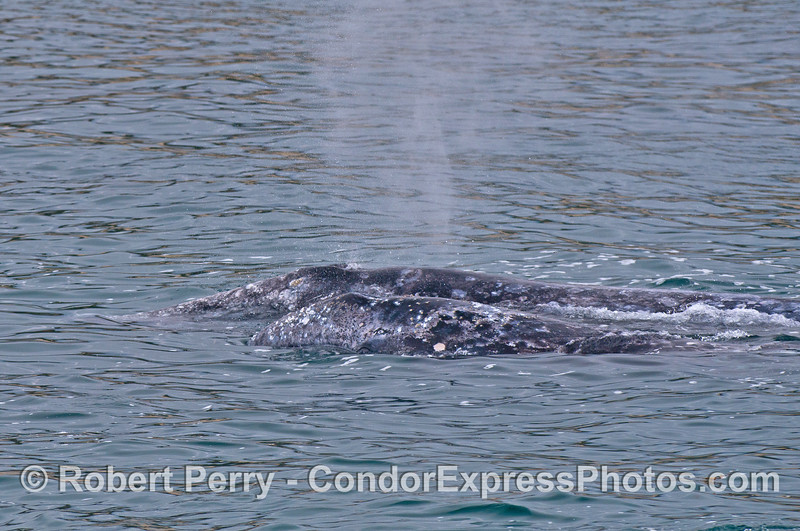 Gray whale mother and calf - side by side