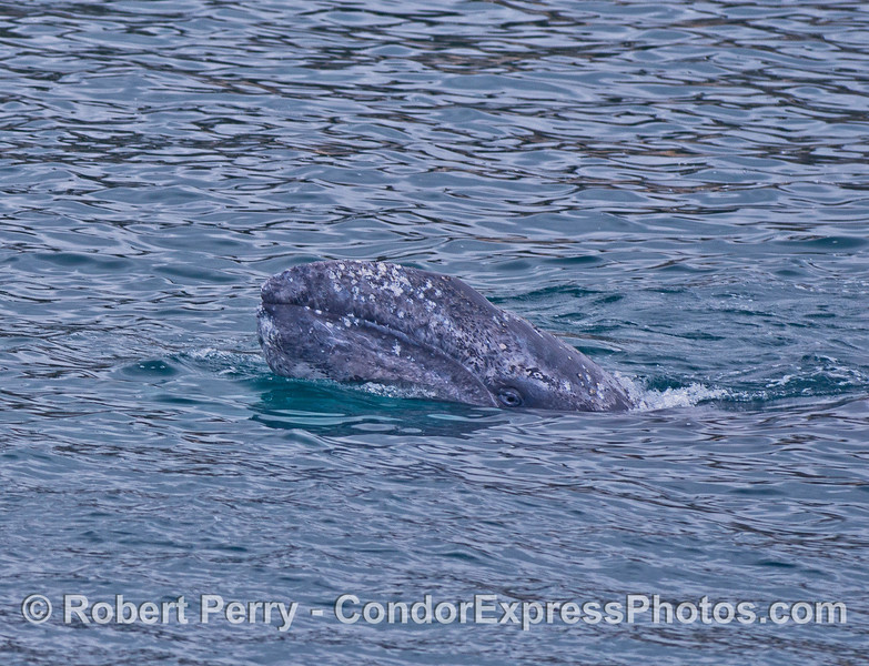Eyes on the prize - a curious gray whale calf spy hops and looks at the camera