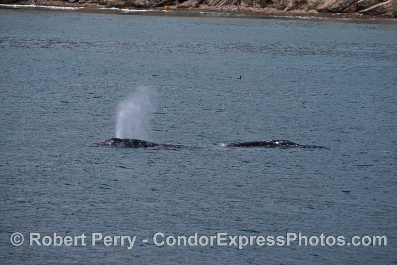 Two gray whales heading northbound