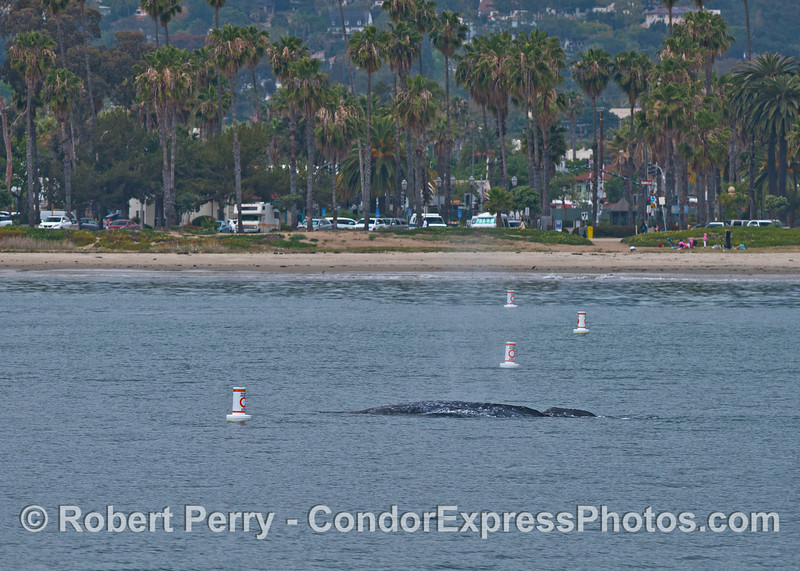 Gray whale mother and calf - East Beach