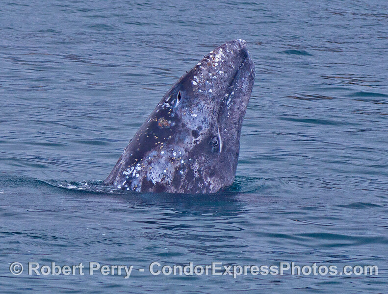 A gray whale calf spy hops with its eye on the camera