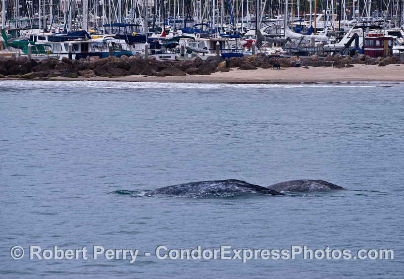 Gray whale mother and calf - near the Sandspit