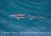 Long-beaked common dolphin mother with tiny calf tucked underneath