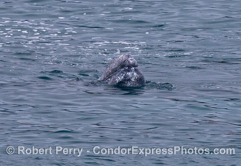 A gray whale calf spy hops