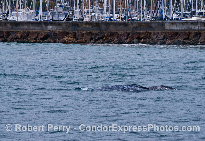 Gray whale mother and calf close to the Santa Barbara breakwater