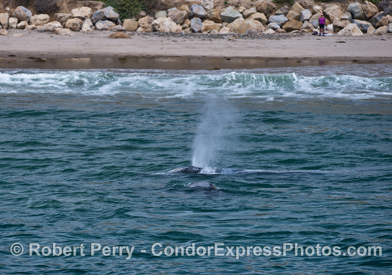Gray whales in the surf