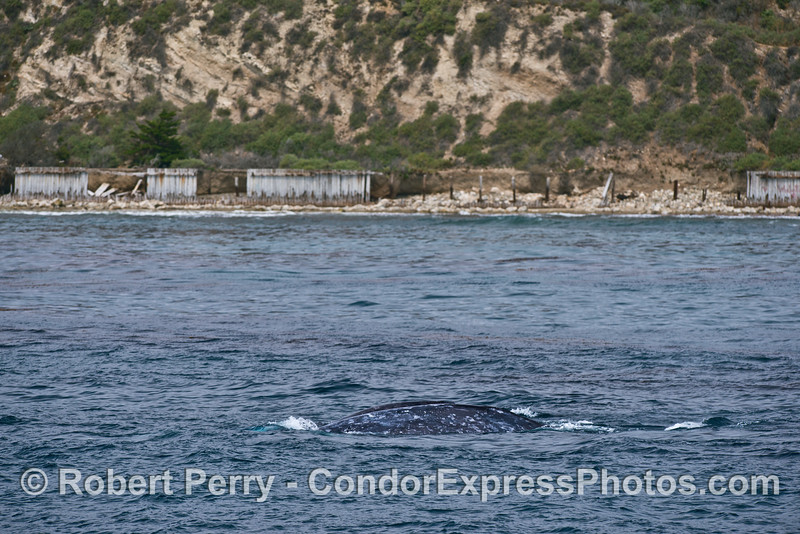Gray whales near the shore - Ellwood