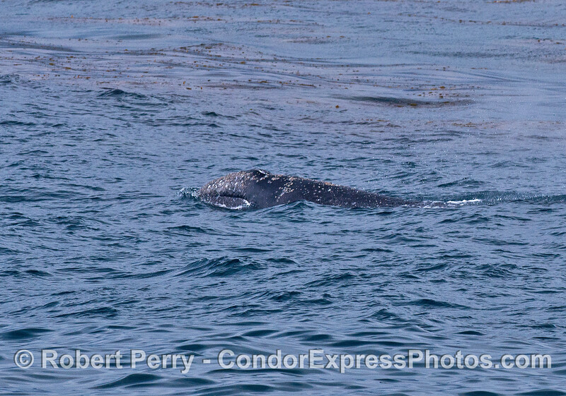 A gray whale calf lifts its head near the kelp forest