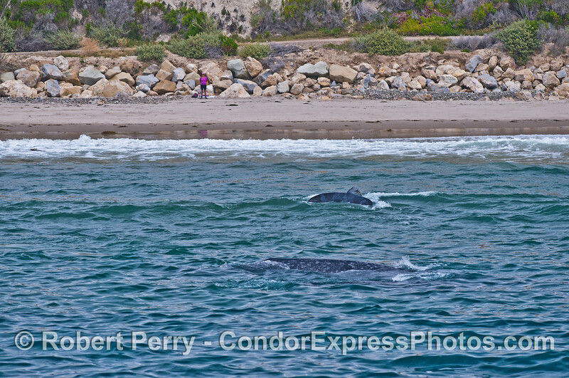 Gray whales in the surf - a calf rides a wave and shows its tail as mother waits outside