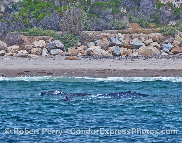 Gray whales in the surf - FOUR whales in very shallow water