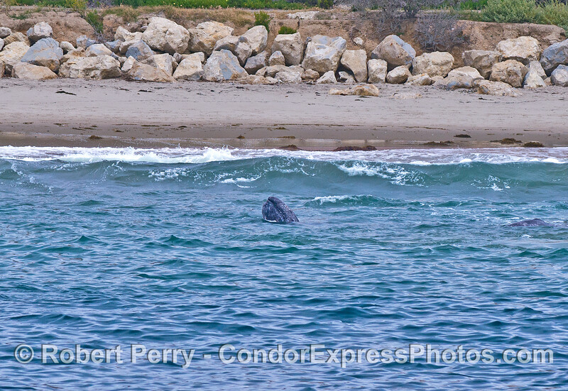 Gray whales in the surf - a calf spy hops