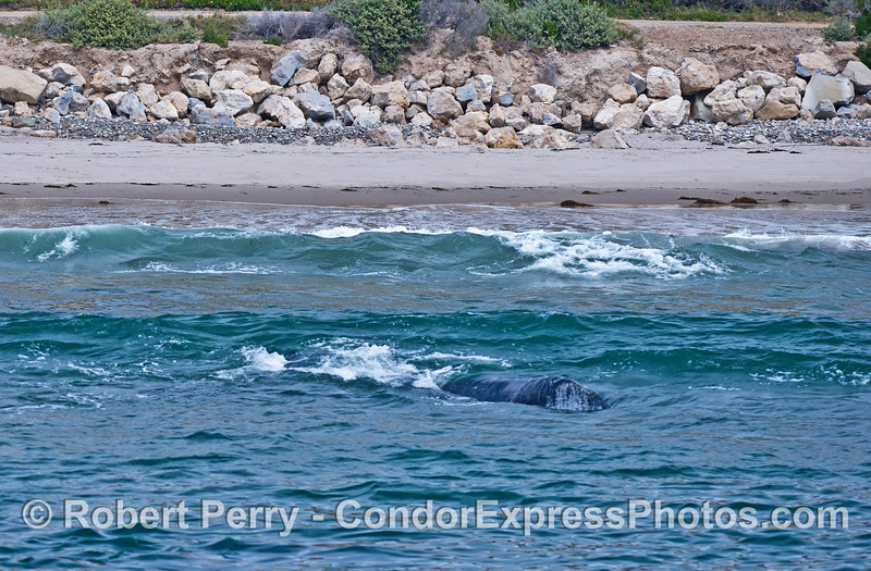 Gray whales in the surf - busting through the oncomng waves